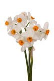 Bouquet of orange and white tazetta daffodils Stock Photos