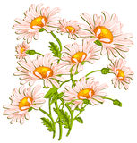 Bouquet of ox-eye daisys on white Royalty Free Stock Photography