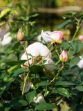 Bouquet of pale pink rose in button. France stock images