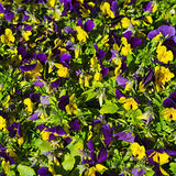 Bouquet of Pansies Stock Photo