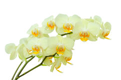 Bouquet of pastel colored delicate spring orchid flowers Royalty Free Stock Photos