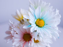 Bouquet of Pastel Daisies. A lovely flower bouquet of white daisies have been gently colored with soft pastels. The image uses a shallow depth of field to bring Stock Photography