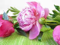 Bouquet of peonies Royalty Free Stock Image