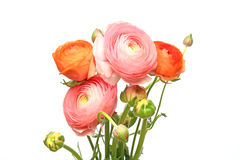 Bouquet of Persian buttercup Stock Image