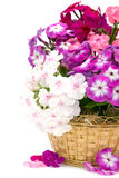 Bouquet of phloxes Stock Photography