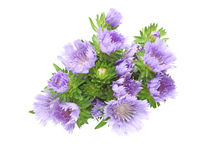 Bouquet of Pincushion flowers in a white background Royalty Free Stock Photography