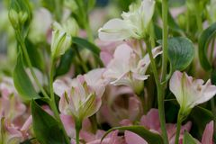Bouquet of pink alstromeria. Bouquet of delicate pink flowers alstroemeria for a holiday gift stock images