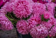 Bouquet of pink asters in the autumn garden stock photos