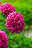 Bouquet of pink asters Stock Photography