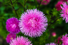 Bouquet of pink asters Royalty Free Stock Photo