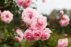 Bouquet of pink blooming rose bush Royalty Free Stock Images