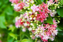 Bouquet of Pink. And White Rangoon Creeper Flower stock image
