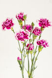 Bouquet of pink carnations on white background. Few stems of pink Dianthus caryophyllus flowers that start blooming. Perennial plant Royalty Free Stock Images