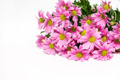 Bouquet of pink chrysanthemum with yellow core Royalty Free Stock Photography