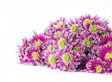 Bouquet of pink chrysanthemums Stock Photo