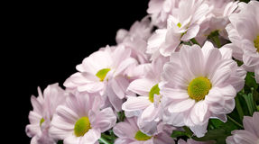Bouquet of pink chrysanthemums Royalty Free Stock Images