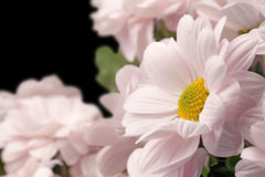 Bouquet of pink chrysanthemums Royalty Free Stock Photos