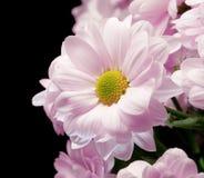 Bouquet of pink chrysanthemums Stock Photos