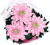 Bouquet of pink chrysanthemums on white background Royalty Free Stock Images