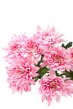 Bouquet of pink chrysanthemums on white background. Royalty Free Stock Images