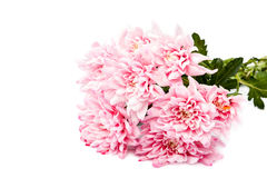 Bouquet of pink chrysanthemums on white background. Royalty Free Stock Photography