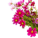 Bouquet of pink cosmos flower isolated on white Stock Photo