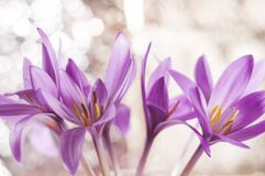 A bouquet of pink crocuses on a bokeh background.