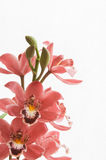 Bouquet of pink cymbidium orchids Royalty Free Stock Photo