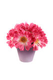 Bouquet of pink daisies Royalty Free Stock Images