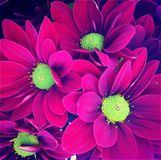 Bouquet of pink daisy royalty free stock photography