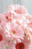 Bouquet of pink gerbera daisies Stock Photography