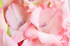 Bouquet of pink gladioli. Stock Image