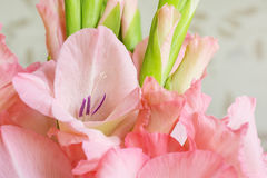 Bouquet of pink gladioli. Royalty Free Stock Images