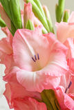 Bouquet of pink gladioli. Stock Images