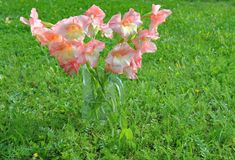 Bouquet of pink gladioluses on a green background Stock Images