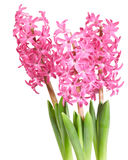 Bouquet pink hyacinths Stock Photo