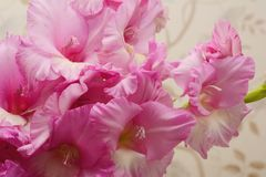 Bouquet of pink and lilac gladioli. Rose-color flowers close-up. stock photography