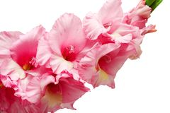 Bouquet of pink and lilac gladioli. Rose-color flowers close-up. Isolated, white background. royalty free stock photos