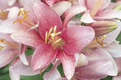 Bouquet of pink lilies in the green garden after the rain royalty free stock image