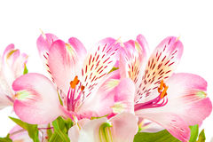 Bouquet of pink lilies on a white background. stock images