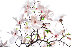 Bouquet of pink magnolia flower. On a white background Royalty Free Stock Photos