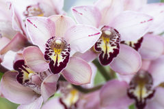 Bouquet of pink orchids Royalty Free Stock Image