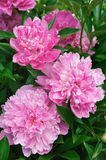Bouquet of pink peonies Royalty Free Stock Image