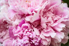 The bouquet of the pink peonies. The bouquet of the elegant delicate pink peonies stock photos