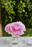 Bouquet of pink peonies in the garden Royalty Free Stock Photo
