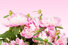 Bouquet of pink peonies Royalty Free Stock Photos