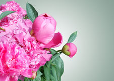 Bouquet of pink peonies on grey background, beautiful peony flower Royalty Free Stock Photo