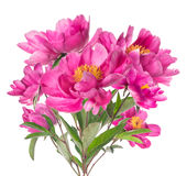 Bouquet of pink peonies with yellow stamens, isolated on white Stock Image