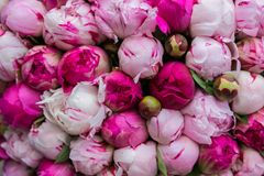 Bouquet of pink peony. Floral pattern. Royalty Free Stock Photography