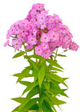 Bouquet of pink phlox Stock Image